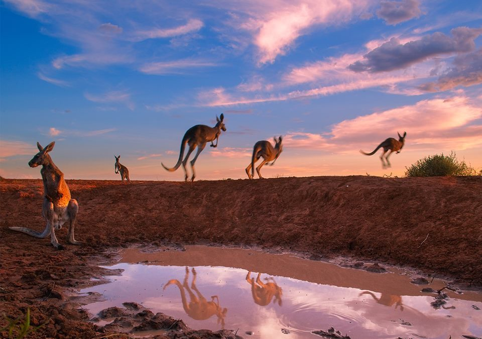 KOOPERATION: Kangaroo – A Love Hate Story