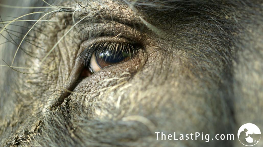 KOOPERATION: The Last Pig